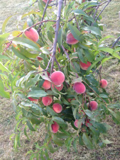 My Backyard Peach Tree in August, Rochester New York