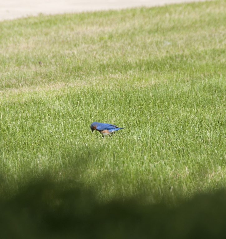 Bluebird nesting in my front yard.
