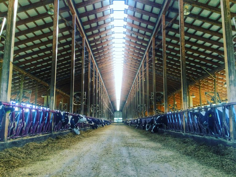 The huge cow barn at Clardale Farm, Cleveland Ohio.
