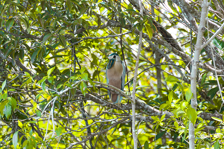 Blue birds of Mayakoba, Mexico on the Eco Tour at the Andaz.