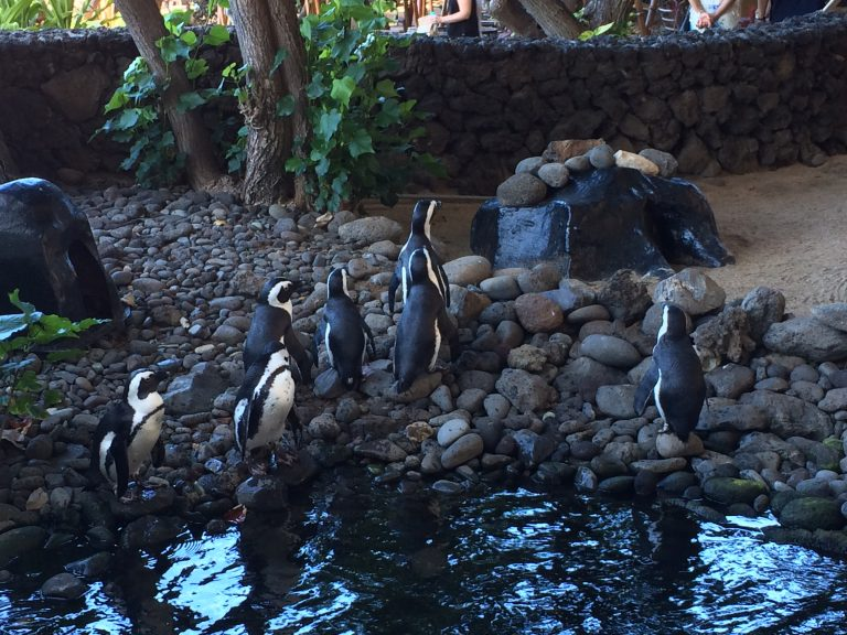 Penguin feeding at Hyatt Regency Maui.